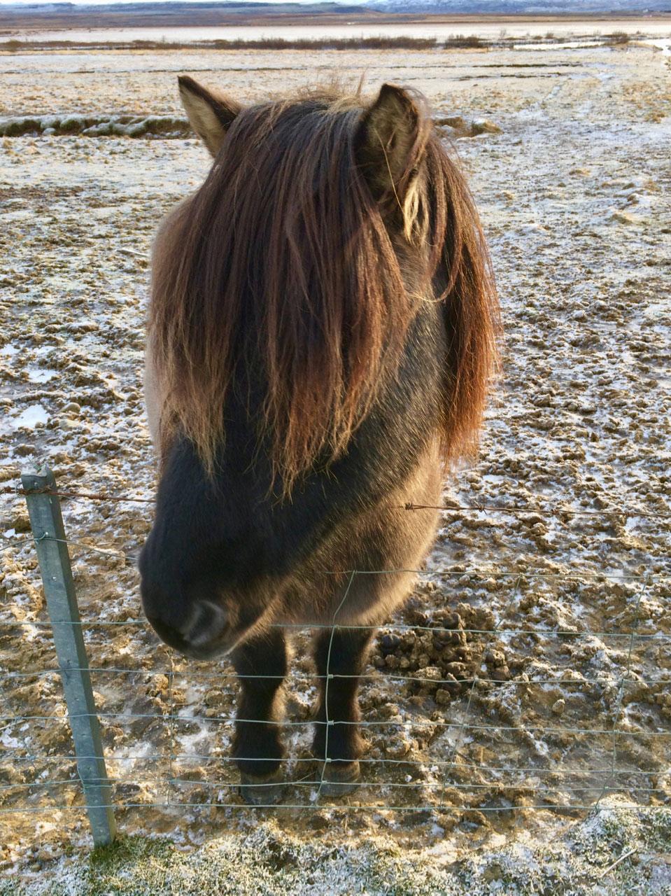 Мини-лохматая-лошадь