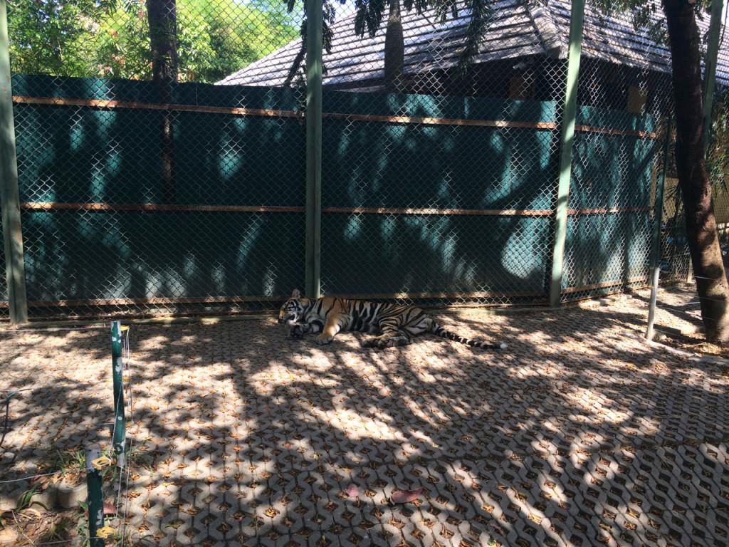 Контактный зоопарк - погладь тигра